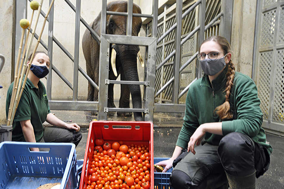 Die Tierpflegerinnen Gwendolyn Steubl (links) und Cora Hölzel verfüttern an Mogli und die anderen Elefanten im Zoo Dresden unter anderem Tomaten, Bananen und Futterrüben. Nur Auberginen mag Mogli nicht.
