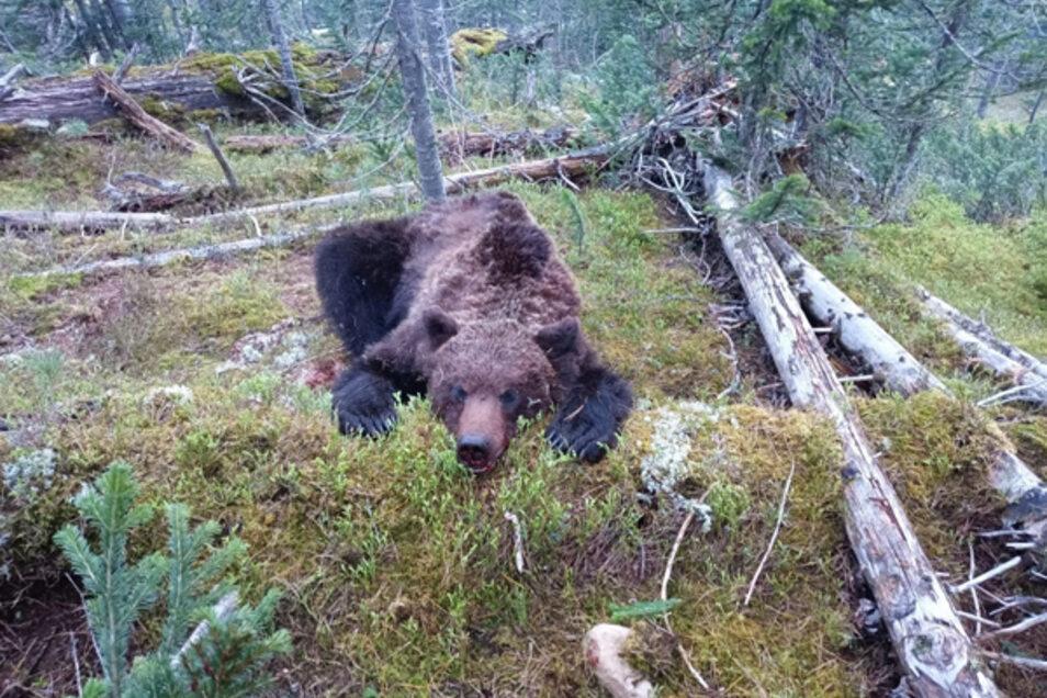 Der getötete Bär.