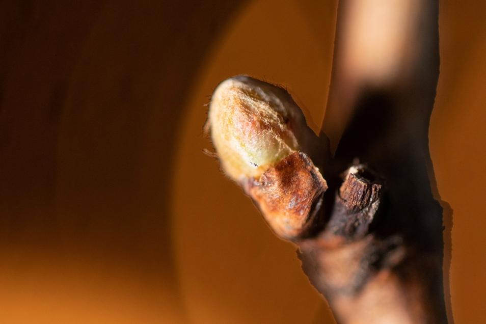 Die Rebstöcke bilden gerade junge Knospen aus. Diese könnten bei Minusgraden erfrieren, was zu Ernteausfällen führt.
