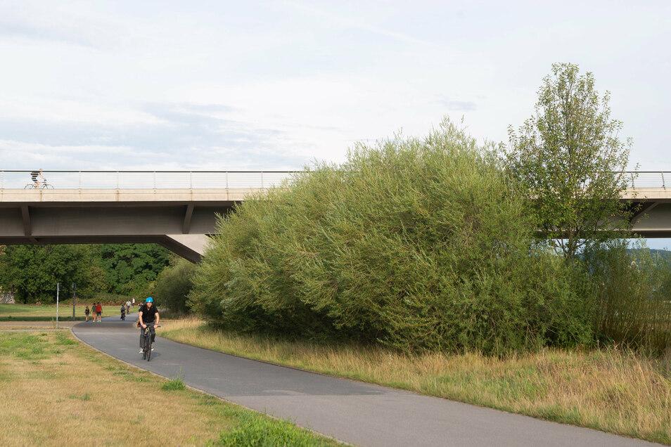 Schnell wächst die Fledermaus-Autobahn an der Waldschlößchenbrücke. Die Weidensträcher sollen Hufi & Co. unter dem Bauwerk hindurch leiten.