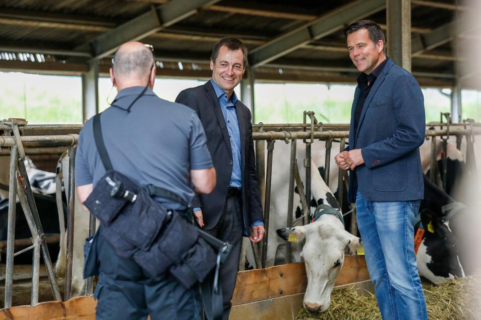 Von zwei Politikern der FDP und einem Pressefotografen lassen sich die Kühe nicht aus der Ruhe bringen: Die Bundestagsabgeordneten Torsten Herbst (links) und Gero Hocker im Kemnitzer Stall.
