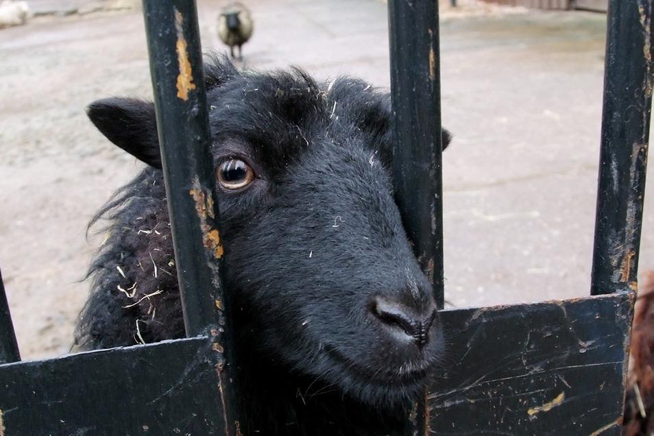 Dieses Ouessant-Schaf im Hoyerswerdaer Zoo dürfte als wolfssicher untergebracht gelten. Anderswo haben Wölfe leichtes Spiel.