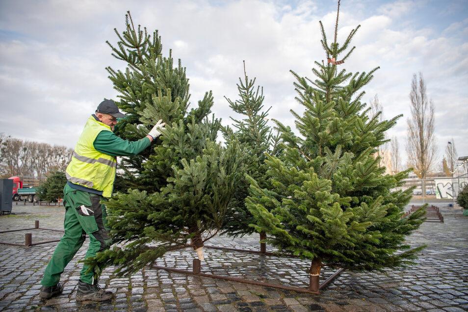 In wenigen Tagen kommen die ersten, in Sachsens Wäldern frisch geschlagenen Tannenbäume zu den Händlern.