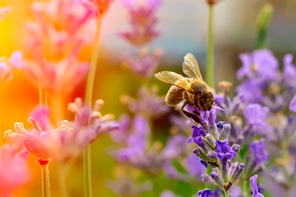 """Bienen und andere Insekten freuen sich über """"wilde Ecken"""" in Gärten."""
