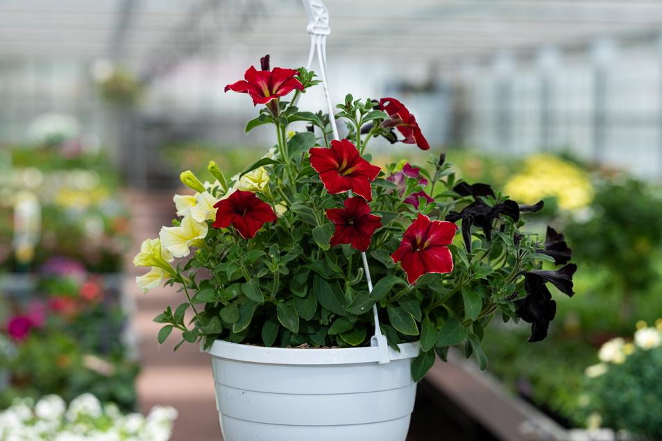 Ein starker Wettbewerbsbeitrag beschert Meißen bald ein regelrechtes Blumenmeer.