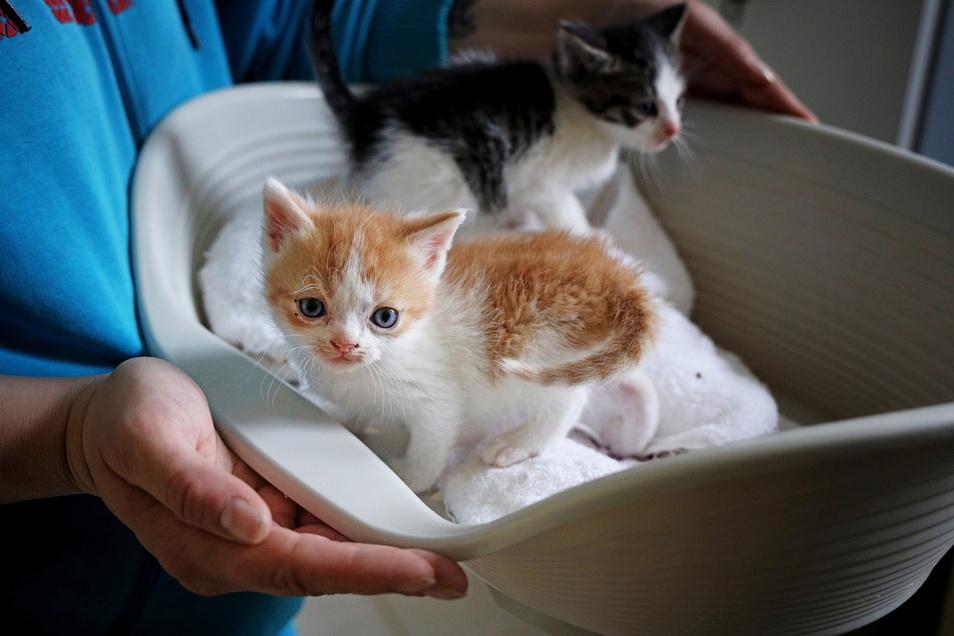 Ab geht's in die neue Quarantäne: Die Kätzchen müssen eine Weile von den anderen Tieren getrennt werden - damit sie keine Krankheiten einschleppen.