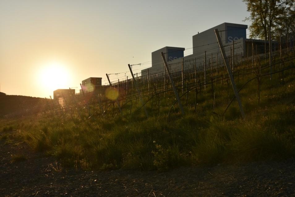 Hier an den IBA-Terrassen wächst Wein.