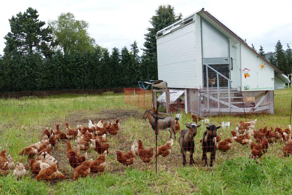 """Das HühnerMobil mit eingezäuntem Auslauf. Die Böcke sollen die Hühner gegen """"Angriffe aus der Luft"""" verteidigen."""
