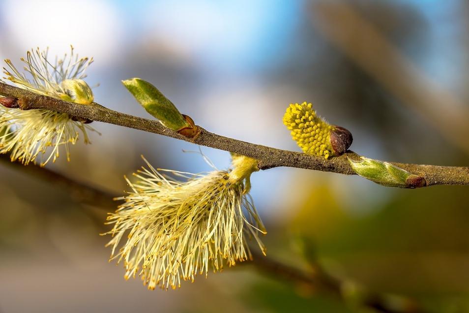 Weide, Birke, Haselnuss - die Pollen können einem das Leben schwer machen.