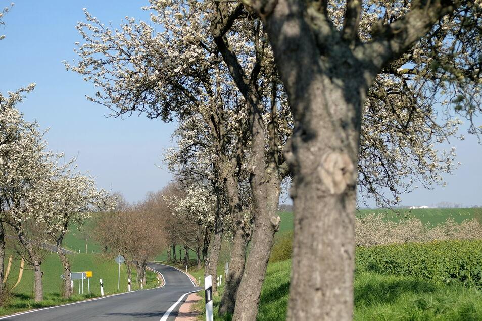 Alleen sind rar geworden im Meißner Land. Auch die Miltitzer Straße wird nur noch auf einem kleinen Stück beidseitig von Bäumen gesäumt.