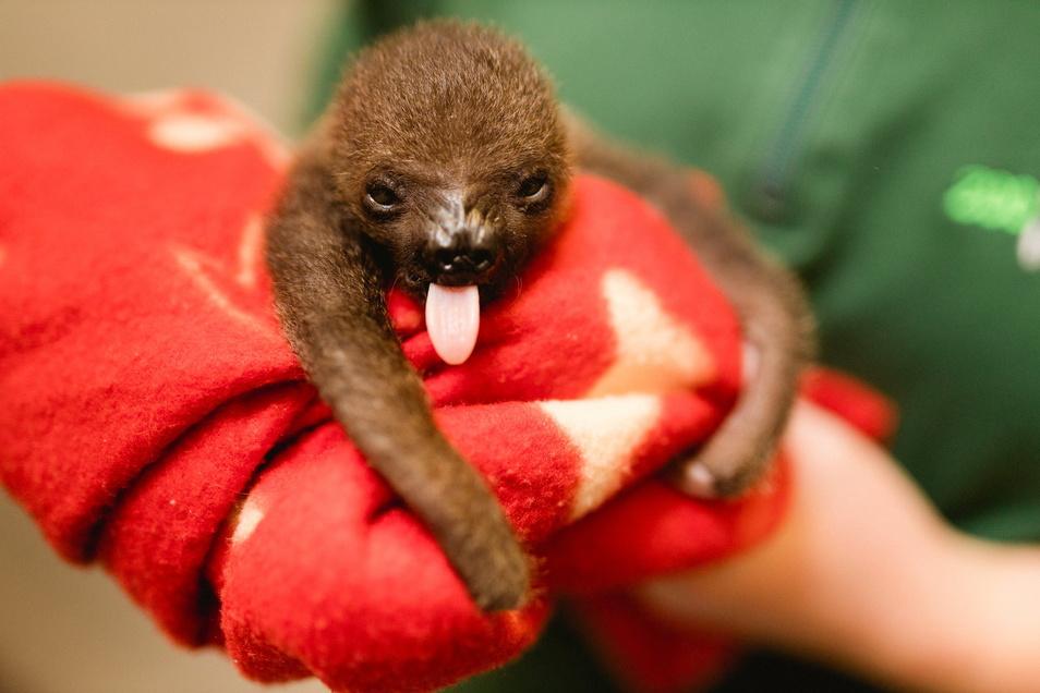 Die Kleine Lele kam am 11. September im Dresdner Zoo zur Welt.
