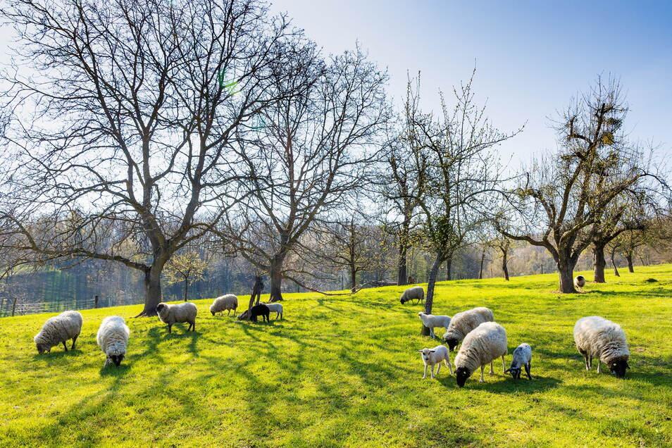 Schafe, Obstbäume, Wiese, Sonne: Holger Steins Hof in Freital sieht aus wie aus einem kitschigen Bilderbuch.