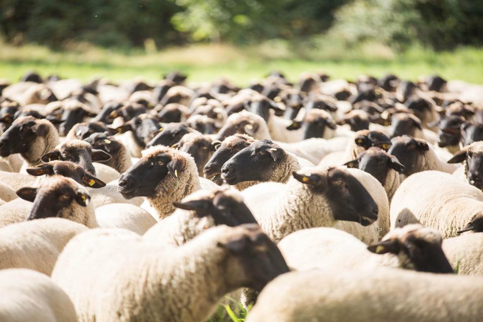 In Eichigt liefen Schafe über die Straße, wodurch ein Radfahrer zu Fall kam und verletzt wurde.