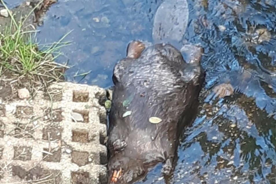 So sah Louis den toten Biber im Bachlauf der Seltenrein liegen.