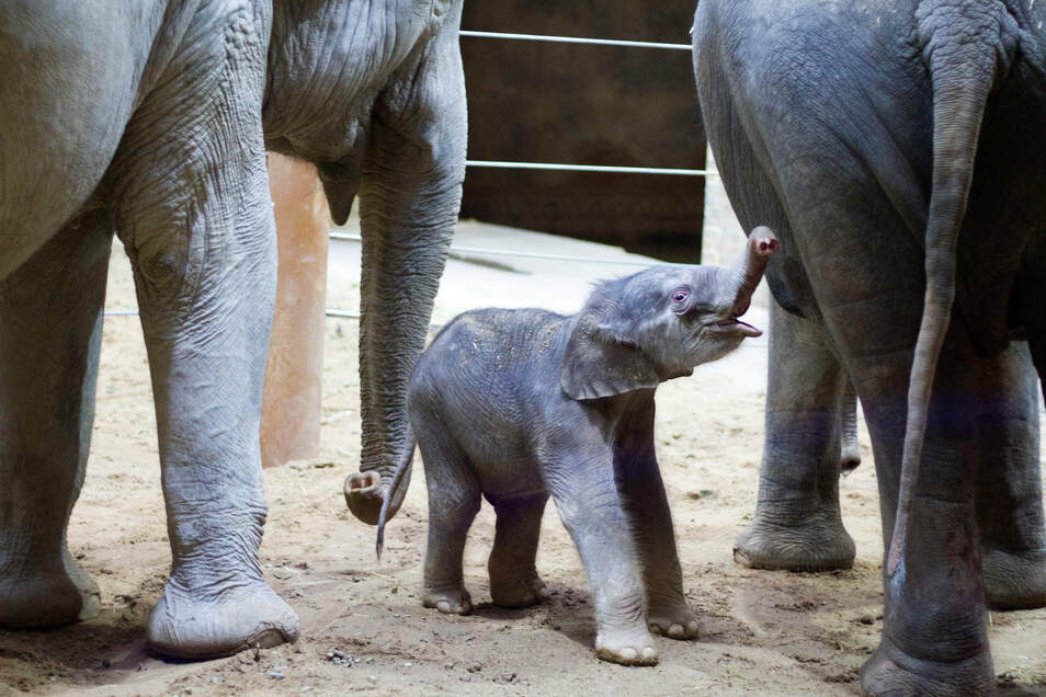 Der kleine Bulle macht nach Angaben des Leipziger Zoos einen gesunden Eindruck.