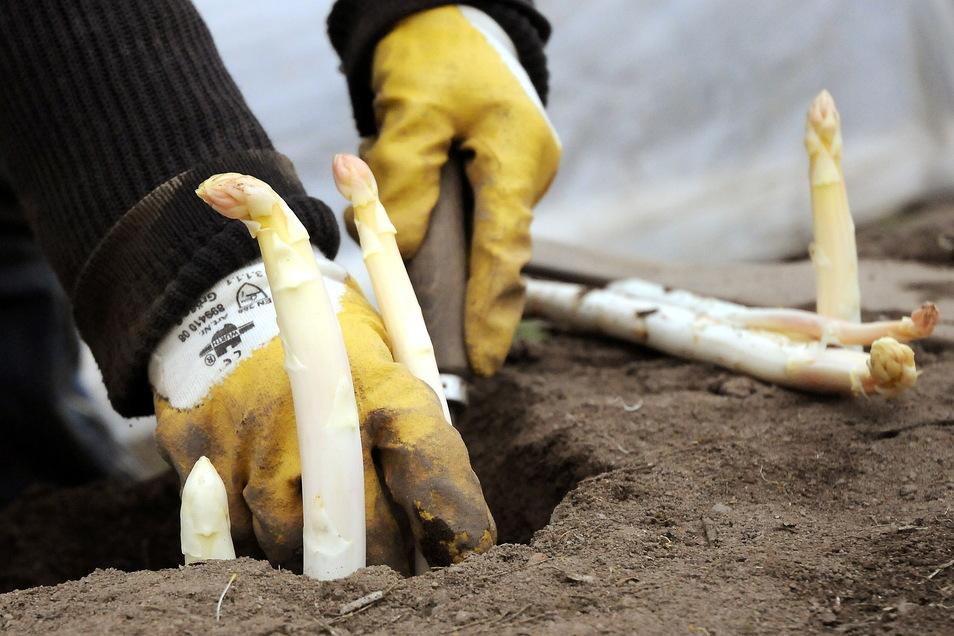 Ein Erntehelfer erntet Spargel auf einem Spargelfeld in Nieschütz. Weil die Saison wegen des kühlen Wetters im Mai später begann, wird sie jetzt verlängert.