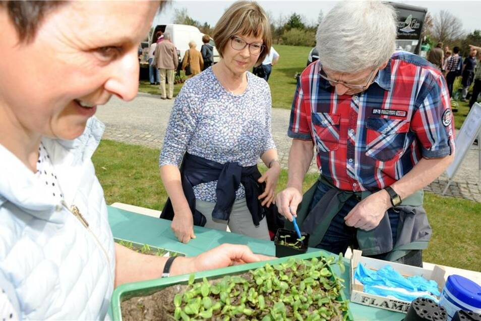 Mitarbeiterin Gudrun Knoblich half Familie Sockel aus Löbau beim pikieren von  Sonnenblumenpflänzchen.