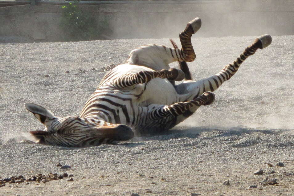 Ein Zebra vergnügt im Sand.