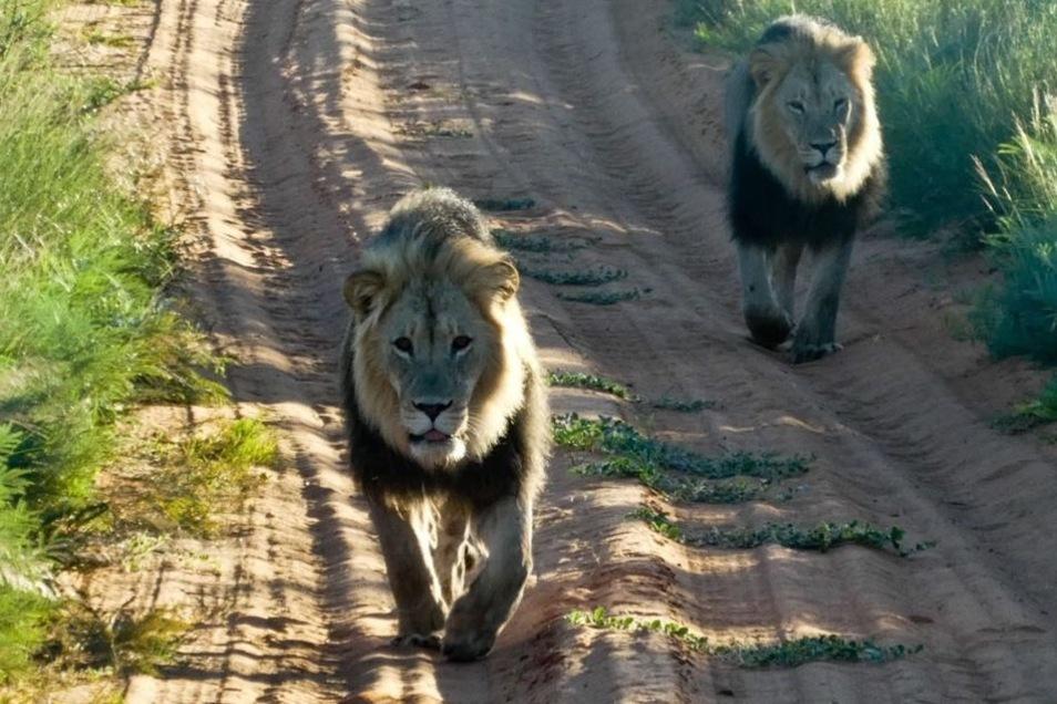 Im Kalahari-Nationalpark kamen den Kreischaern Löwen auf der sandigen Fahrspur entgegen gelaufen.