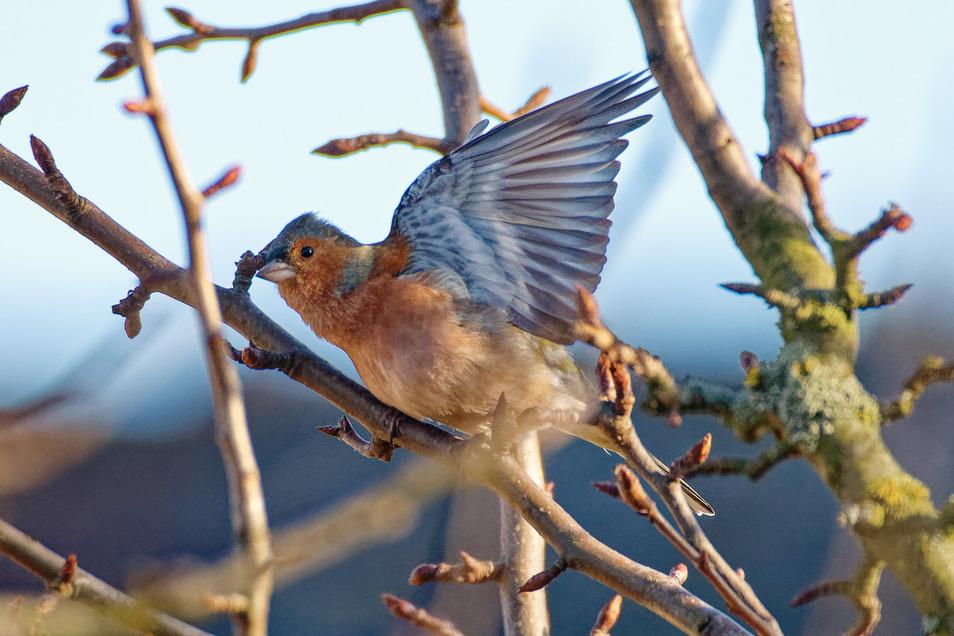 Der Buchfink ist ein typischer Gartenvogel.