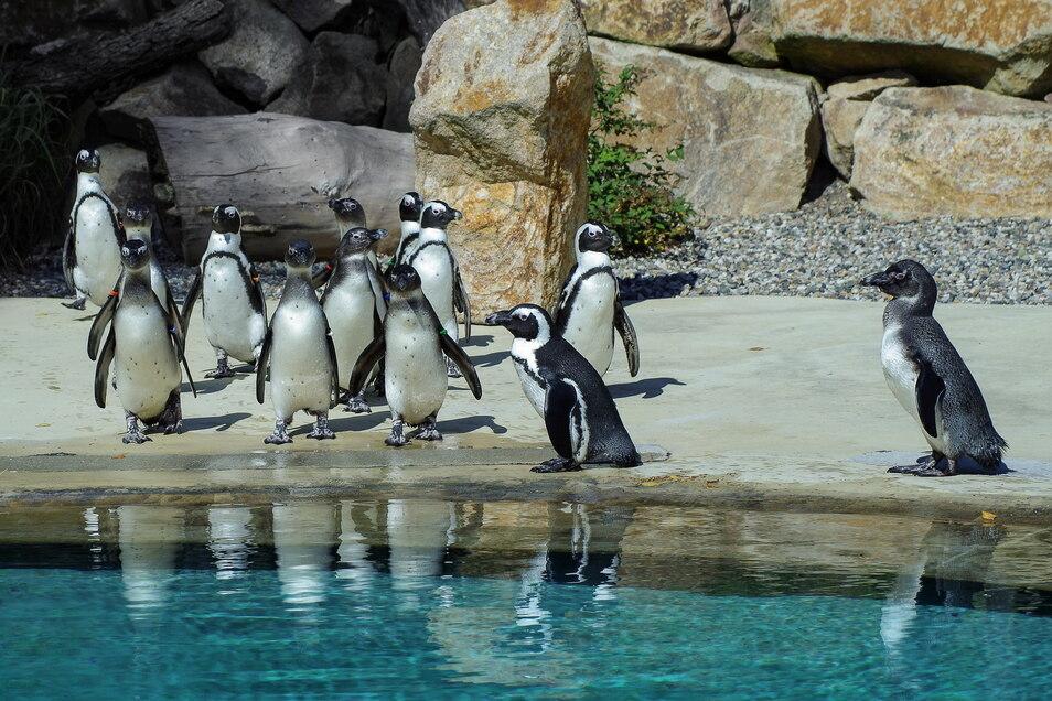 Aus Amsterdam sind die Pinguine in den Zoo nach Usti gekommen.