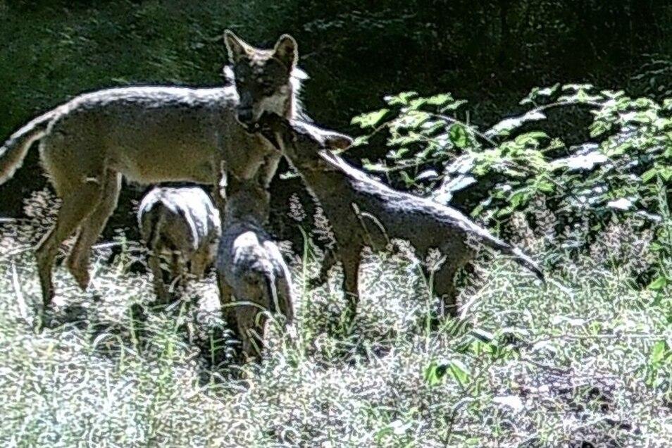 Eines der Lieblingsfotos des Görlitzer Notars: eine Wolfsfamilie in seinem Revier im Wald bei Rothenburg.