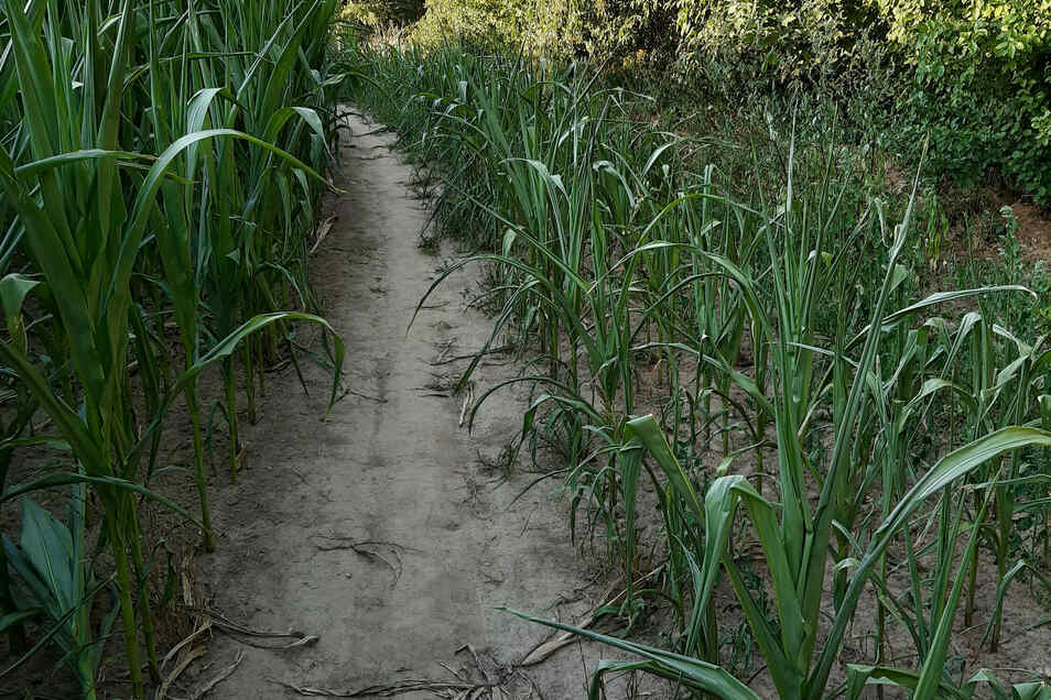 Zschaitz Wenige Meter neben dem ursprünglichen Radweg müssen die Radfahrer jetzt durchs Maisfeld radeln.