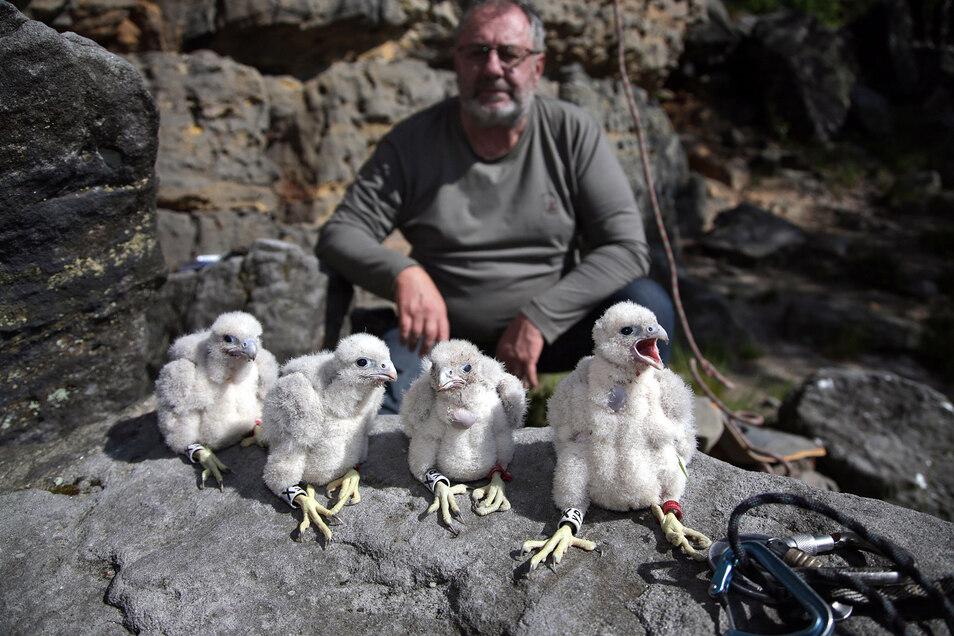 Freude bei Artenschützer Ulrich Augst: Im Großen Grenzturm im Bielatal hat er vier fidele Falkenküken zum Beringen vorgefunden. Vierlinge gab es in den letzten Jahren kaum noch.