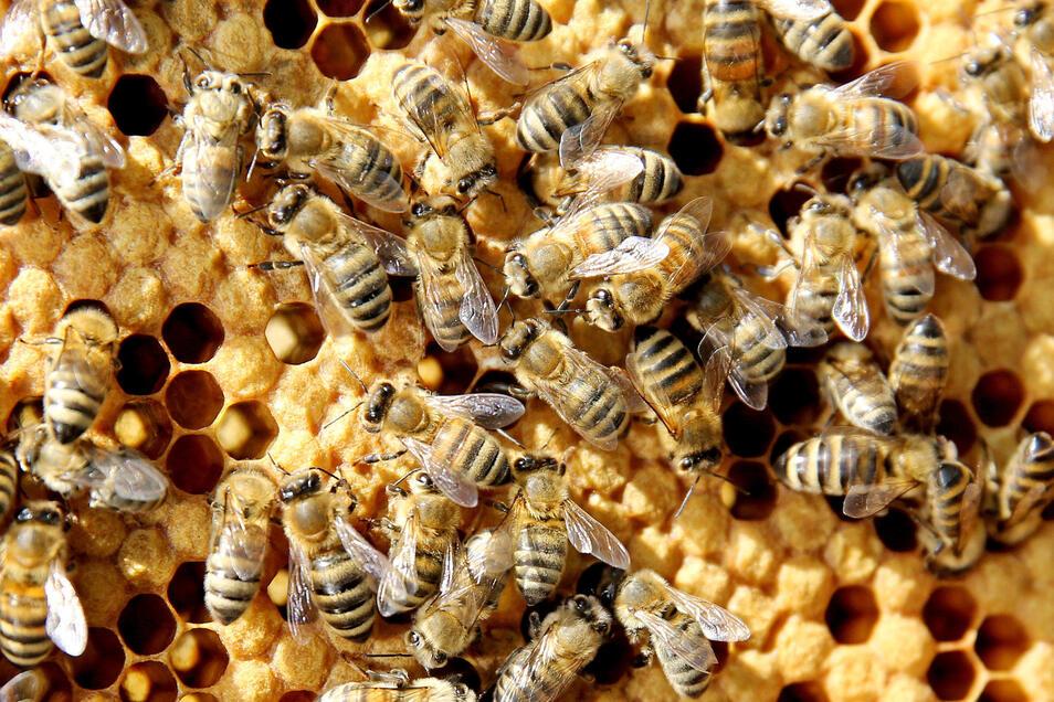 Diesen Bienchen geht es gut, sie krabbeln auf Waben der Hochschule Anhalt in Bernburg. In Dresden tritt immer wieder eine Bienenkrankheit auf.