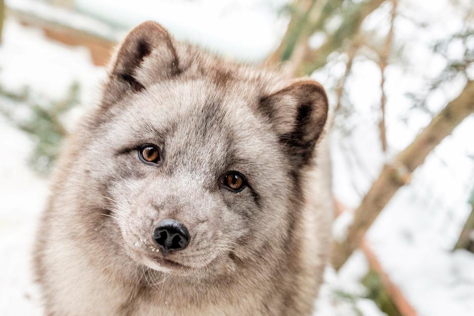 Die Polarfüchse waren 2020 der Besuchermagnet im Riesaer Tierpark - aber nicht die einzigen neuen Tiere im Bestand.