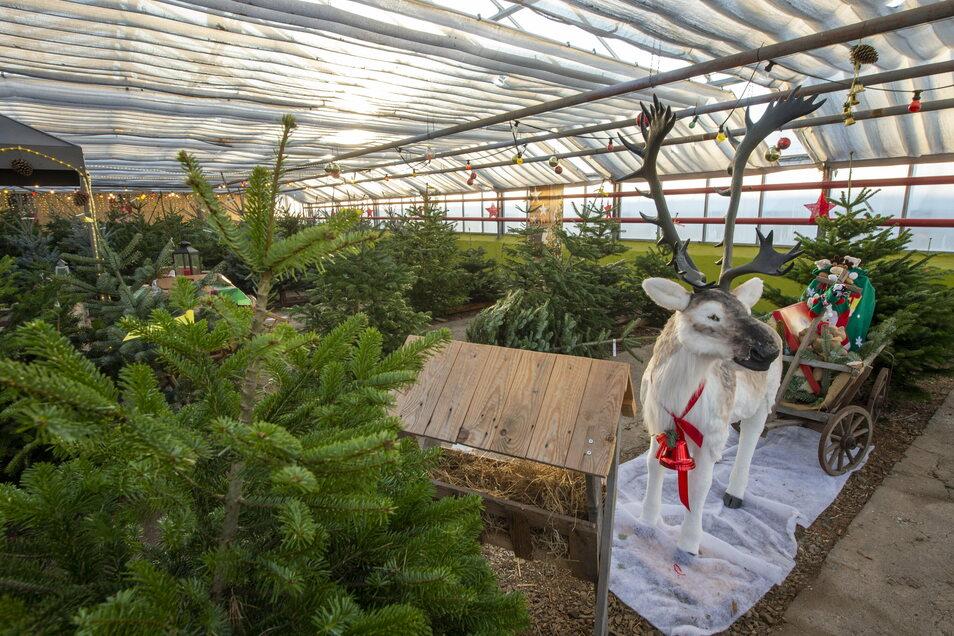 Der Weihnachtsbaumkauf als Erlebnis: Ein ehemaliges Gewächshaus wurde zur attraktiven Verkaufshalle umfunktioniert. Glühwein gibt es dieses Jahr allerdings nicht.