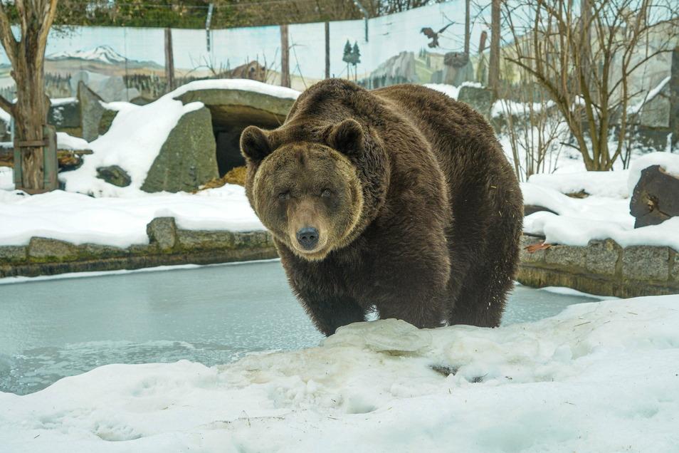 Braunbär Balu feierte am 12. Januar seinen 19. Geburtstag. Er durfte sich über einen Berg mit Pfirsichen, Melone und Äpfeln sowie ein Glas Honig freuen.