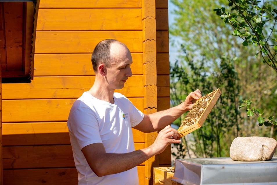 Hobbyimker Dirk Jäger mit einer Honigwabe in der Hand, hat an seinem Standort an der Baumschule Kreisel in Gombsen bei Kreischa mehrere Bienenvölker stehen. Diese bestäuben in einem Umkreis von bis zu drei Kilometern die Pflanzen und bringen den Nektar de