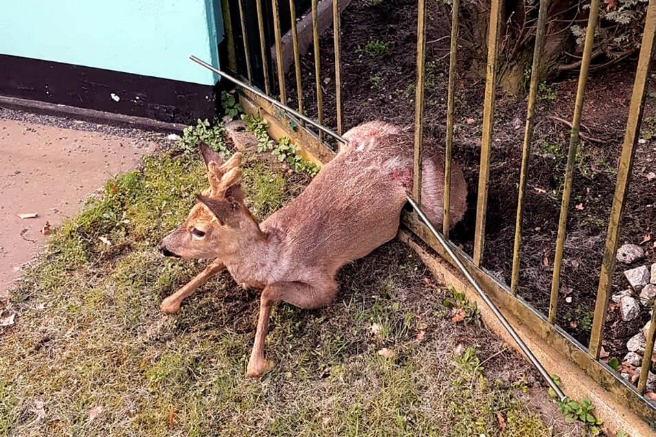 Das Tier lag auf einer querliegenden Eisenstange. Das Metall verlief nicht durch den Körper des Rehs, wie es auf dem Bild vermutet werden könnte.