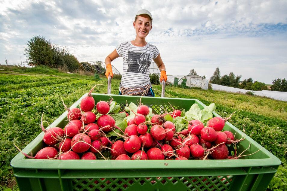 Karolina macht die Arbeit auf den Feldern des Auenhofes Spaß. Jeden Tag gibt es neue Aufgaben zu erledigen - so auch die Ernte von Radieschen.