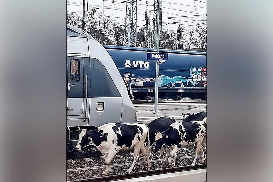 Ja wo laufen sie denn? Zwischen 6 und 9 Uhr am Sonntag bot sich dieser ungewöhnliche Anblick am Bahnhof Ruhland.