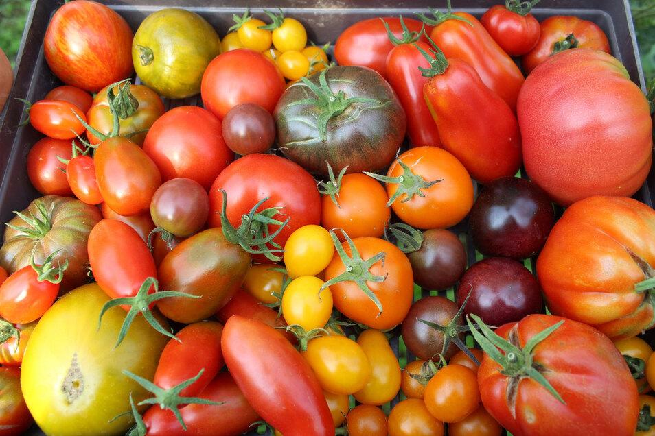 Tomatenvielfalt zwischen hellgelb und fast schwarz: Die schmackhaften Sommerfrüchte tragen so klangvolle Namen wie Goldmarie, Tigerella, Martina, Black Sherry, Berner Rose oder Yellow Submarine.