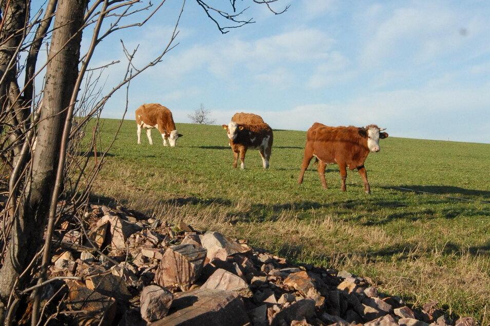 Eine Rinderherde wurde durch ein Gewitter erschreckt - und setzte sich in Bewegung.