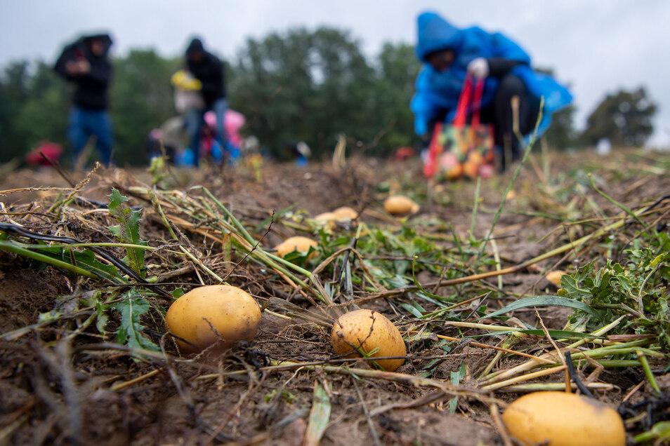 Teilnehmer einer Aktion gegen Lebensmittelverschwendung sammeln auf einem Acker in Brandenburg Kartoffeln ein. Weil viele Kartoffeln zu klein sind oder nicht den ästhetischen Ansprüchen genügen, bleibt ein großer Teil der Ernte auf dem Acker zurück.