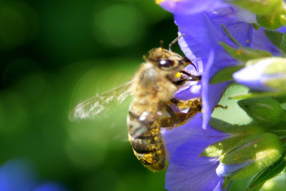 Damit die Bienen immer eine Blüte finden, jetzt überlegen, wie der Garten die ganze Saison blühen kann.