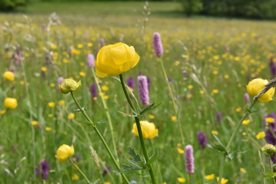 Trollblumen fühlen sich auf feuchten, leicht sauren Böden wohl...