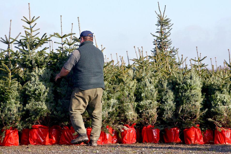 Weihnachtsbäume im Topf können nach dem Fest in den Garten gesetzt werden. Sie wachsen aber nur an, wenn man sie auf die Kälte vorbereitet.