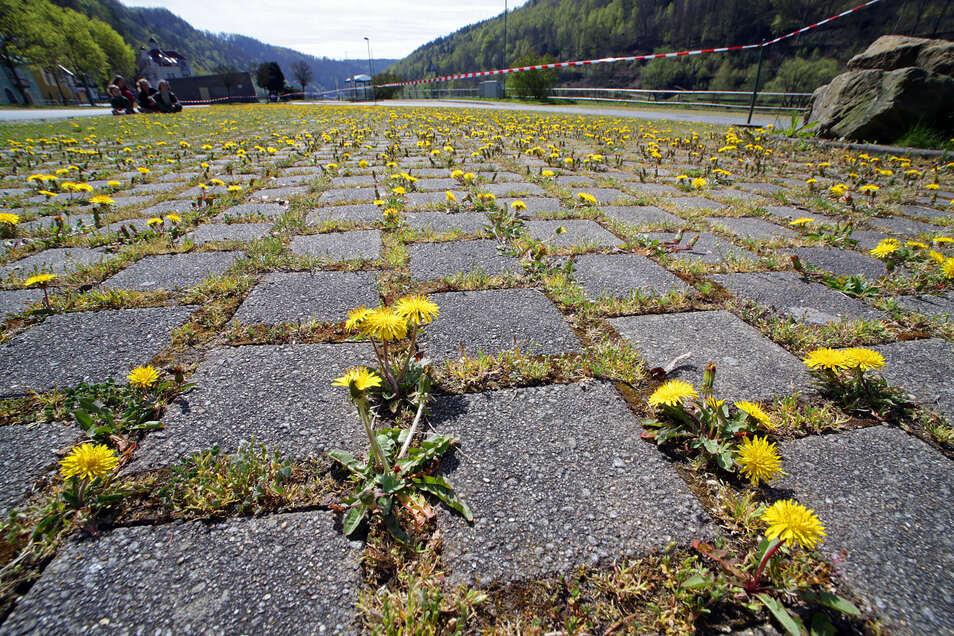 Wieder Natur, der Parkplatz in Schmilka.