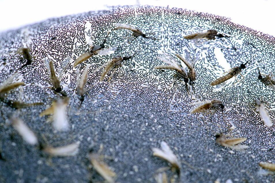 Tote Malariamücken liegen inmitten von tausenden von Eiern.