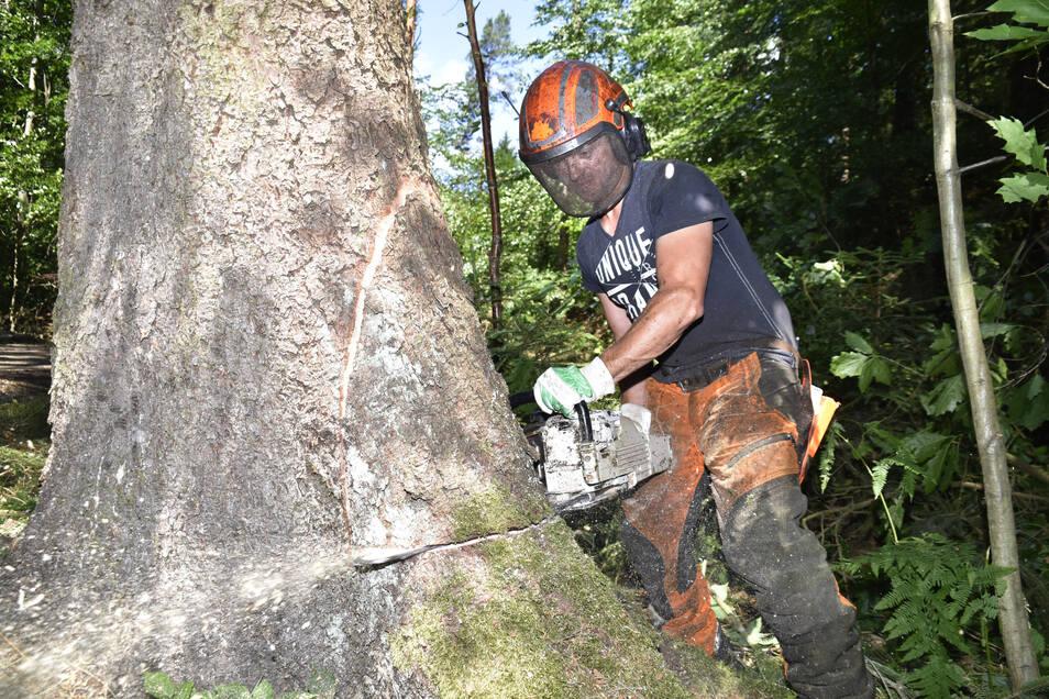 Christian Ufer vom gleichnamigen Forstdienstleistungsbetrieb fällt eine der alten Fichten im Prießnitzgrund.