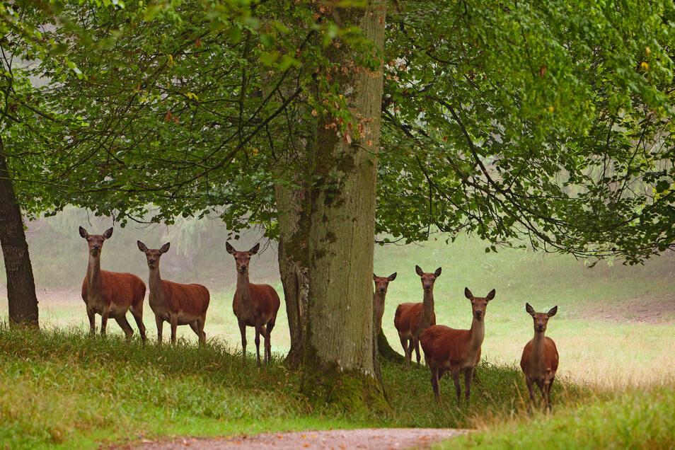 62 Säugetierarten sind in Sachsen einheimisch - zum Beispiel das Rotwild.