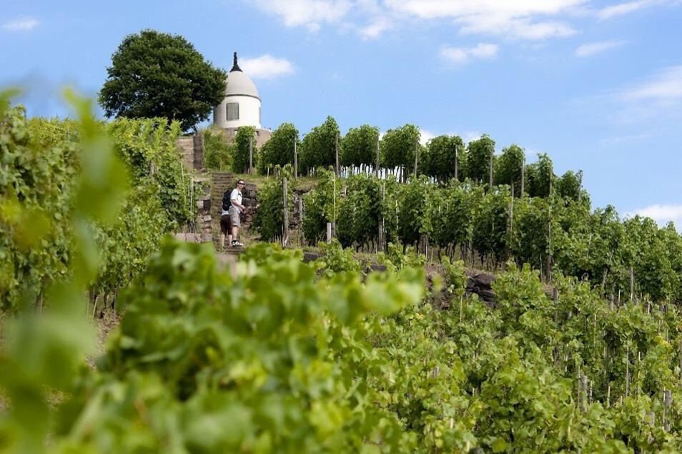 Bei einer Wanderung durch die Weinberge erfahren Besucher Wissenswertes über die Arbeit der Winzer und haben zugleich einen einzigartigen Blick ins Elbtal.