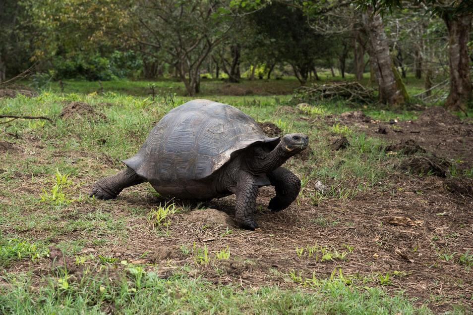 Die Vorfahren der Galapagos-Riesenschildkröten scheinen auf direktem Weg im Meer treibend von der südamerikanischen Pazifik-Küste auf die Galapagos-Inseln gekommen zu sein.