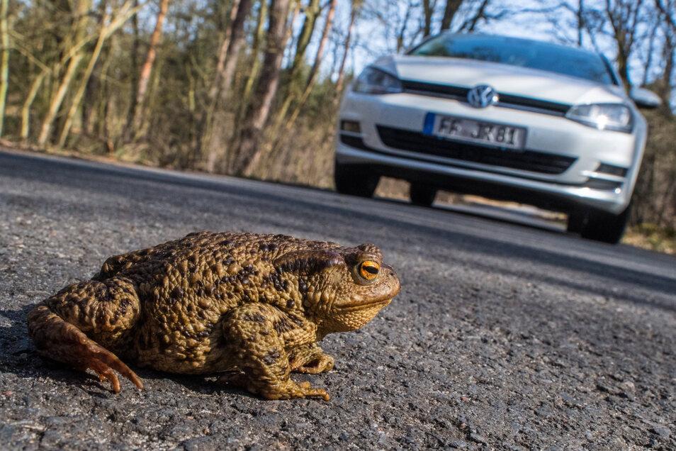 Wenn Frösche und Kröten über Straßen müssen, sind sie in Gefahr.