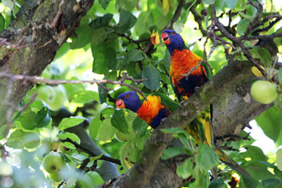 Zwei entflohene Papageien, vermutlich Loris, haben am Donnerstag die Feuerwehr auf den Plan gerufen.